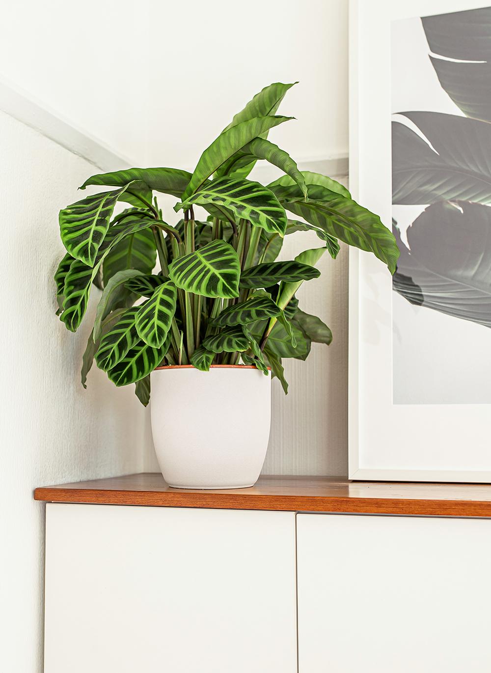 Zebra-Plant-Calathea-Zebrina-kelseyinlondon-homewithkelsey-plant-guide-best-indoor-plants
